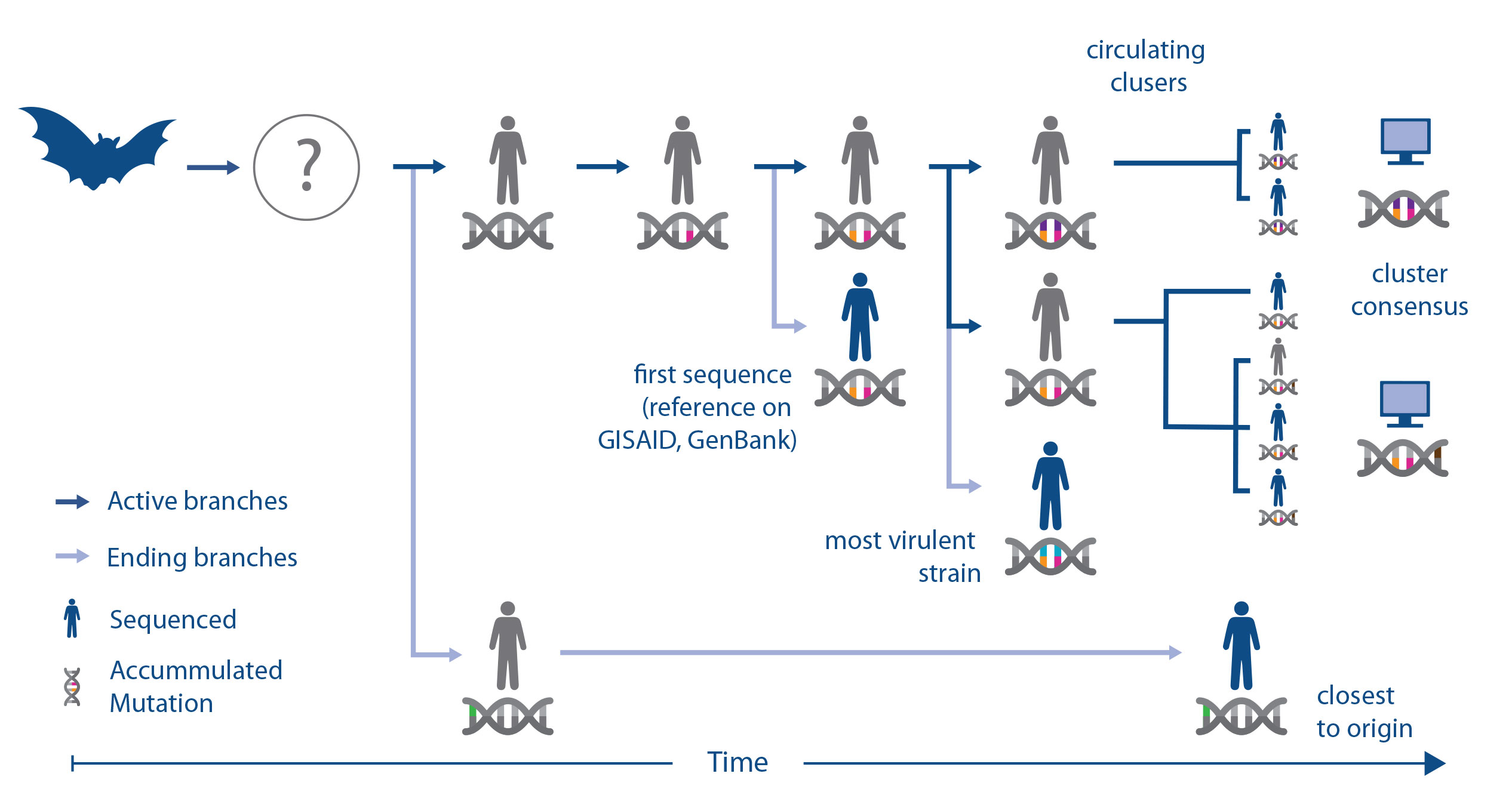 Understanding genome sequences helps researchers choose the right strain of the virus for vaccine and diagnostic efforts.